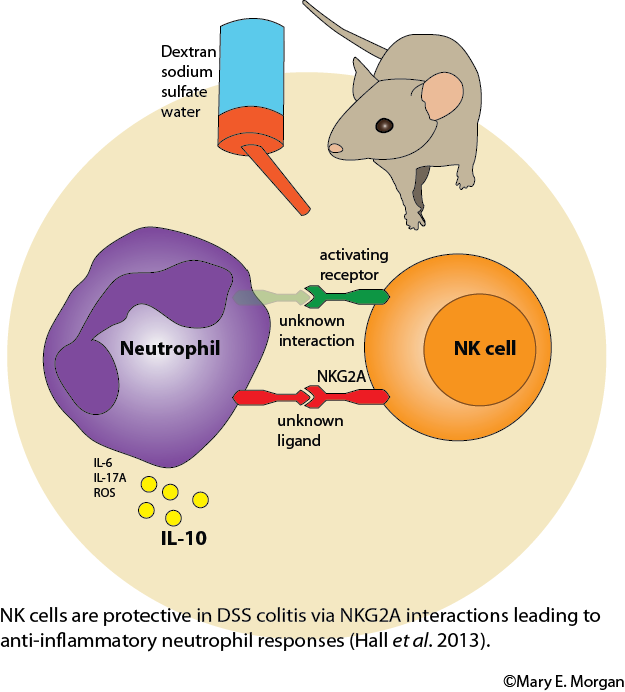 NK cells have a regulatory role in DSS colitis