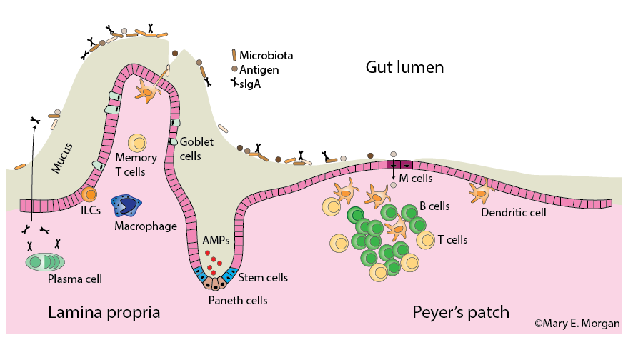 Many cells participate in maintaining health at the intestinal-lumen interface.
